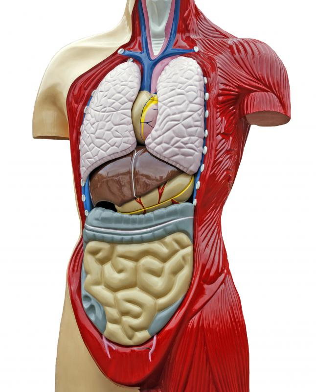 The abdominal cavity includes the area from the ribs down to the pelvic bone, stretching out to both sides of the body.