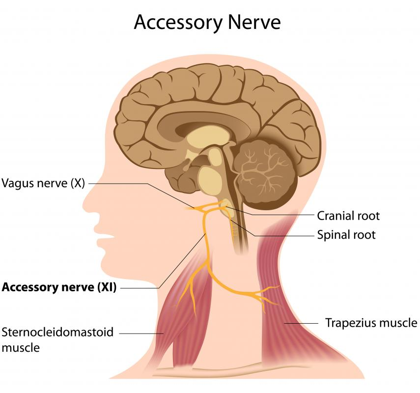 The vagus nerve is a cranial nerve extending from the brain stem to the viscera.