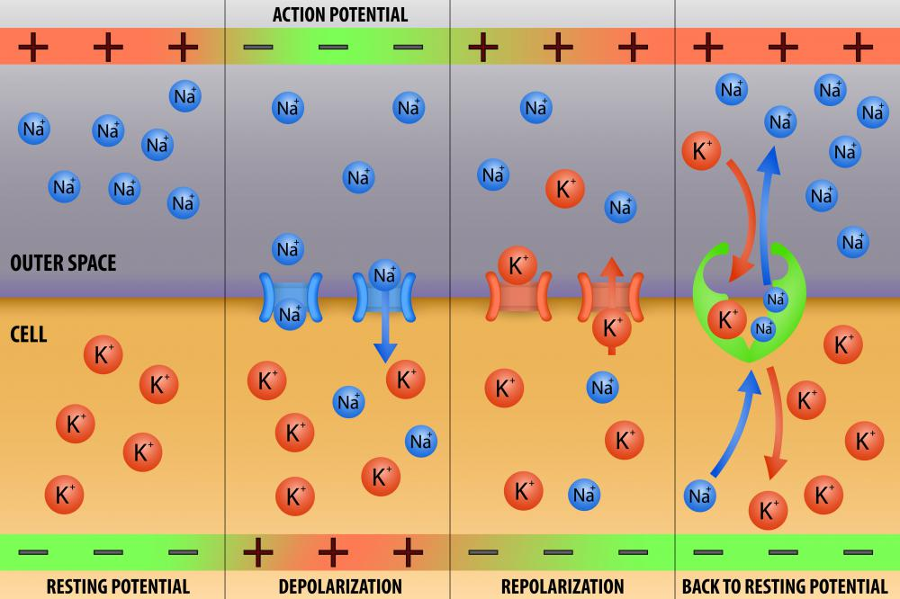 The movement of potassium in and out of cells creates a potassium gradient that helps to set the action potential and the resting membrane potential of a cell.