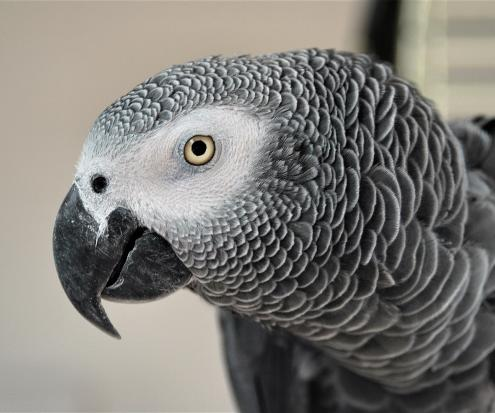 In addition to being known for their impressive intelligence, African grey parrots have also demonstrated kindness to other members of their species.