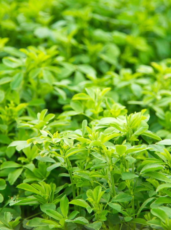 Alfalfa can be including in stinging nettle tea.