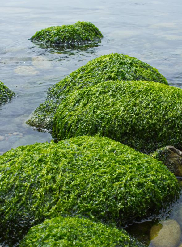 Algae may be used for biofuel production.