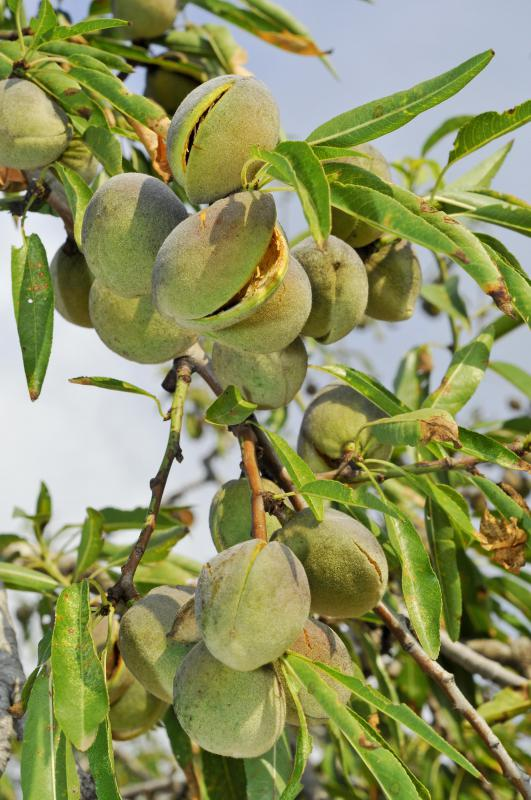 Almonds, a type of drupe, on a tree.