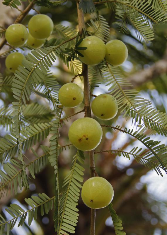 Amla fruit grows on the Indian gooseberry tree, also known as the amalaki tree.