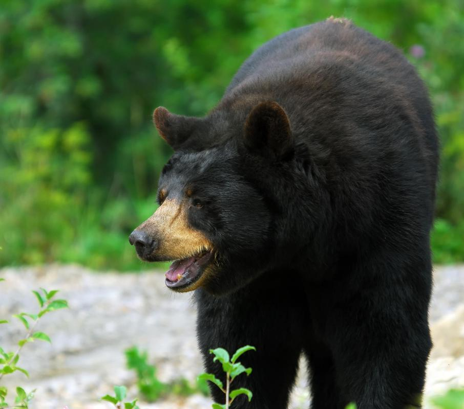 The American Black Bear may see people as a food source.