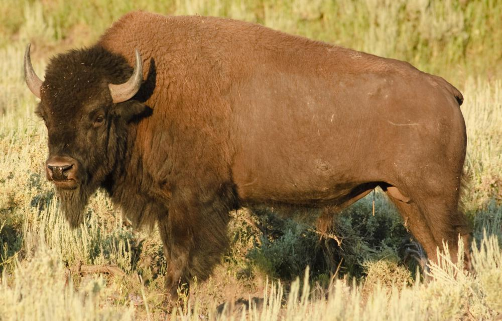 Bison are considered big game animals in North America, although they were nearly hunted to extinction in the 1800's and early 1900's.