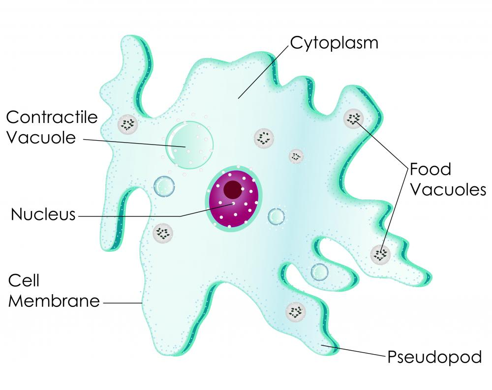 Unicellular Cell Diagram What is an Amoeba