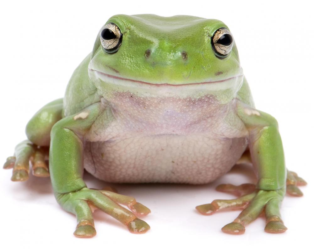 Frogs can help control garden pests.