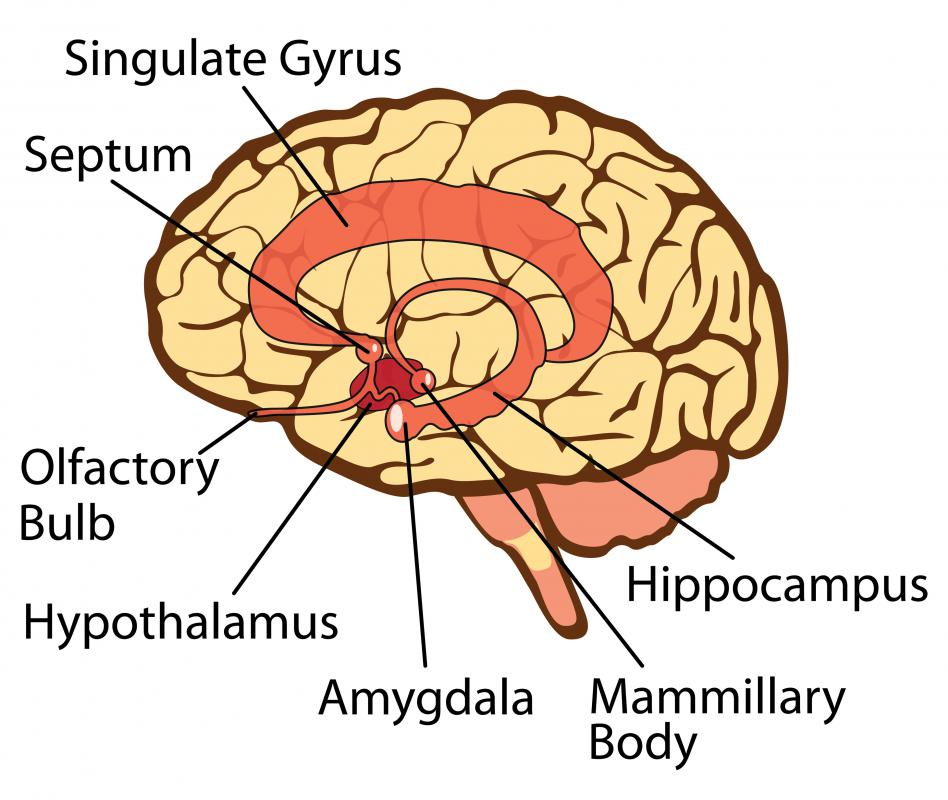 The hypothalamus, a small but highly important part of that brain, is one of primary points of activity in the body.
