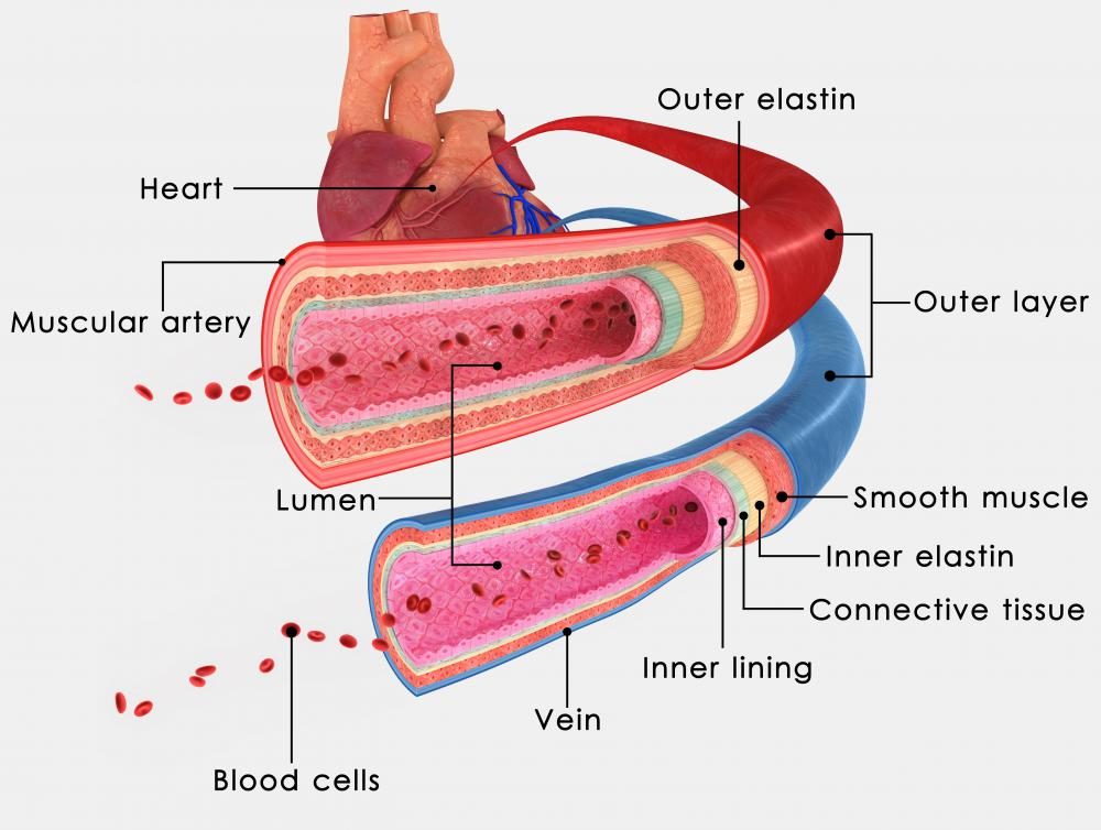 An artery transports oxygen-rich blood to various parts of the body.