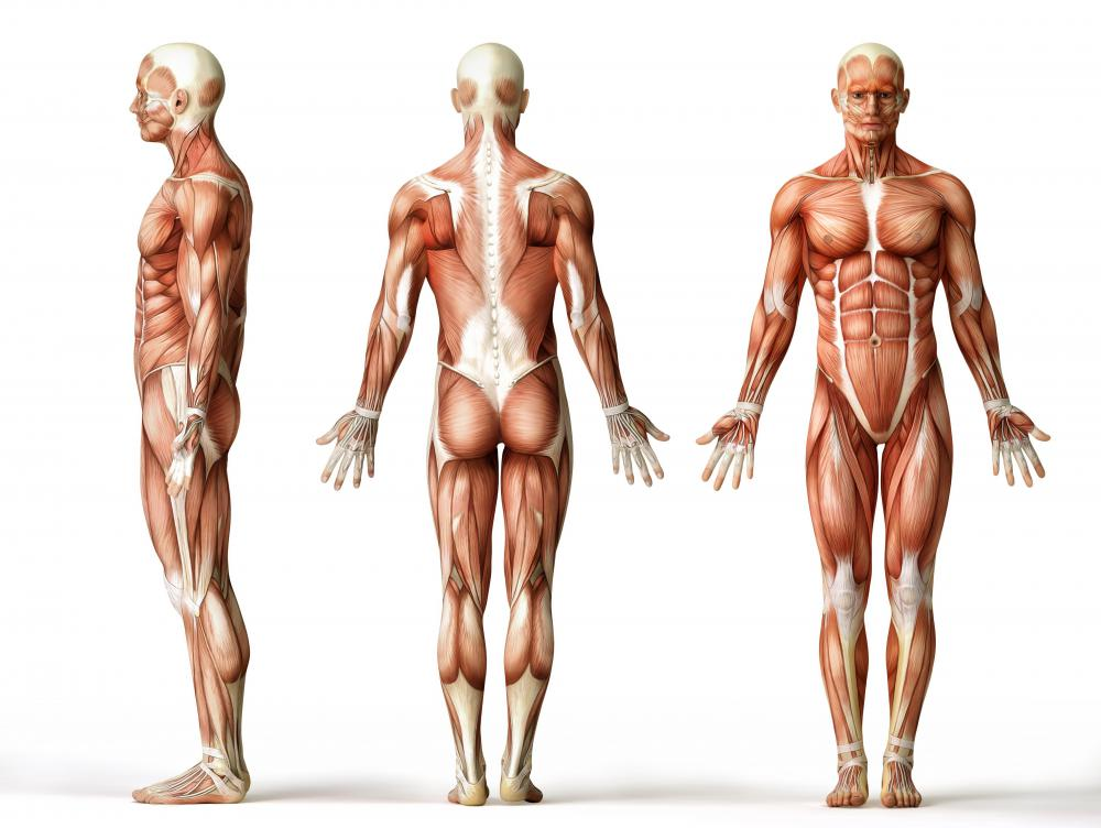 Skeletal muscle attaches to the bones.