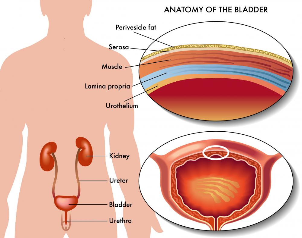 A typical cystoscopy procedure examines the urinary bladder in both men and women.