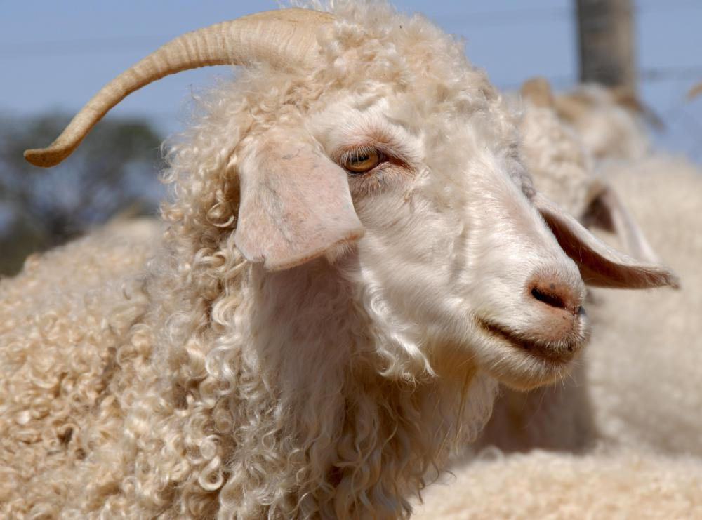 Mohair is produced from the hair of angora goats.