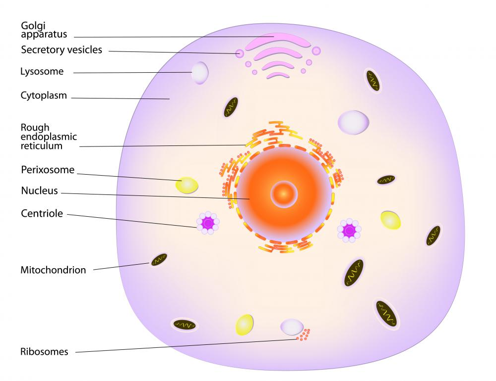 What Is A Lysosome With Pictures