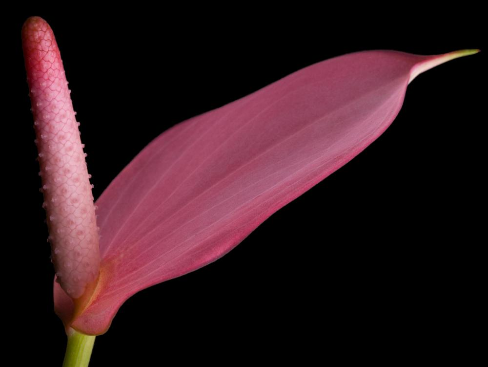 Flowers in the Anthurium genus have flower spikes.