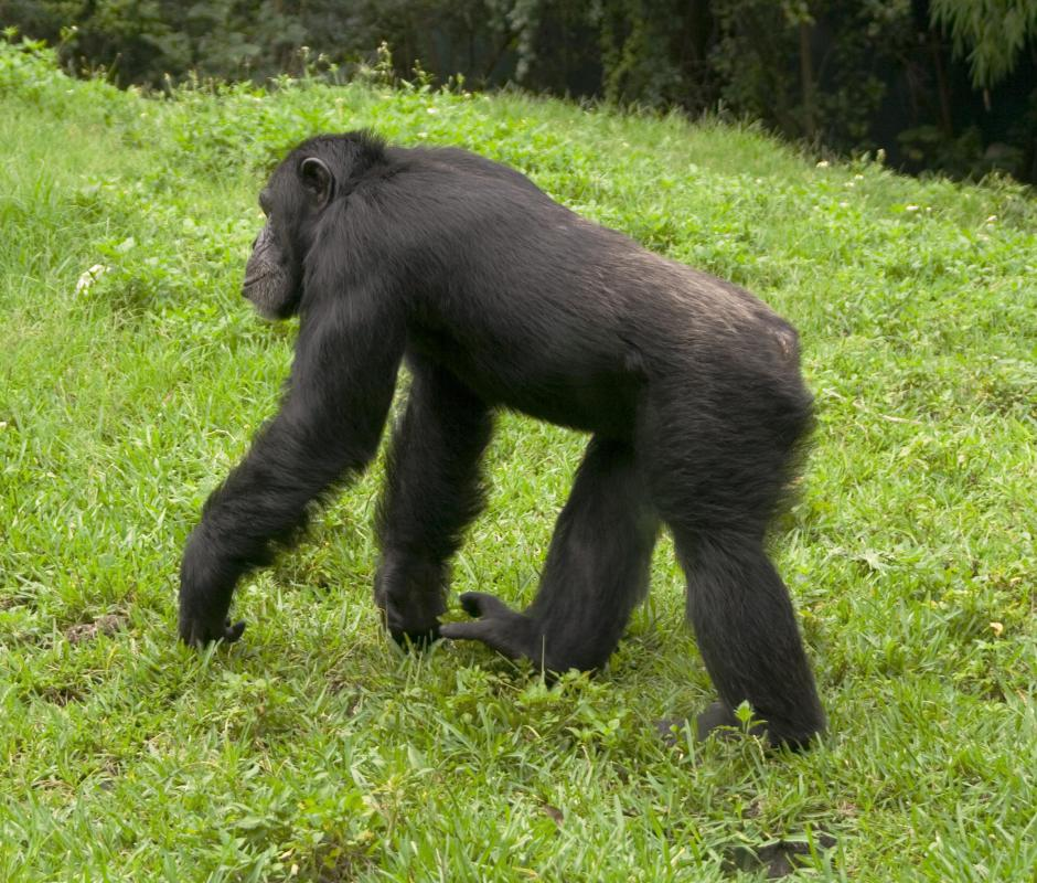 Apes are broader in the chest and share genetic similarities to humans.