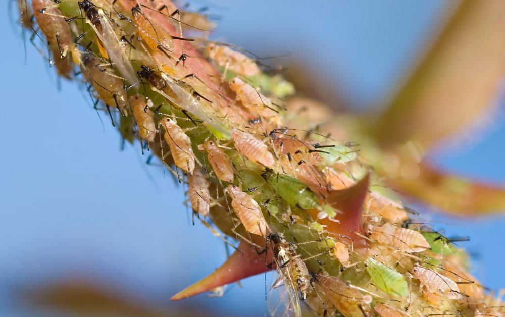 Aphids are fluid feeders who get their nutrients from plants.