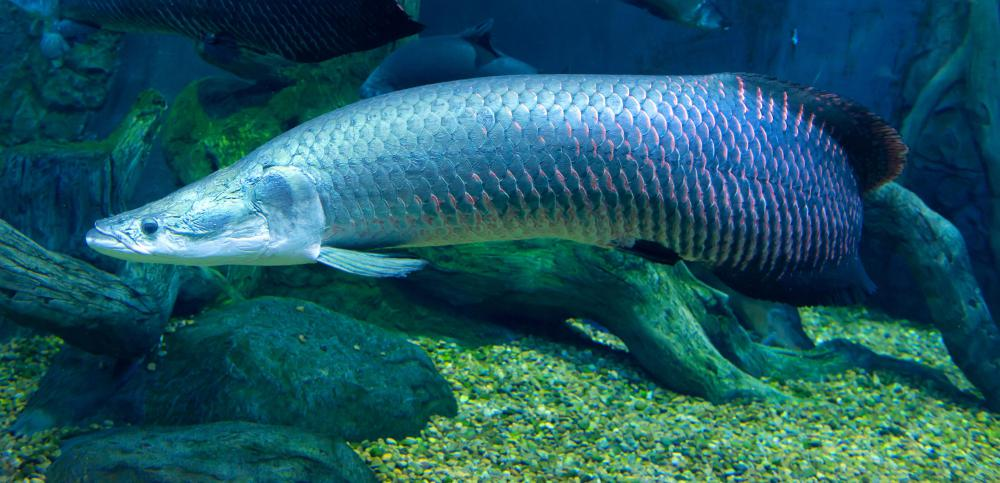 Living in parts of the Amazon, the arapaima is one of the biggest freshwater fish in the world.
