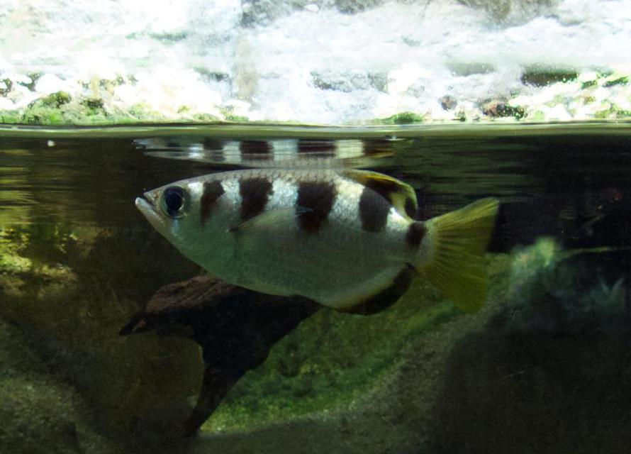 Archerfish may be kept as pets in salt water aquariums.