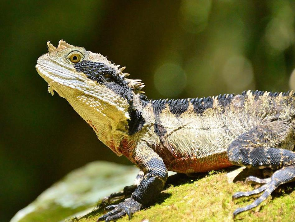 Water dragons, some of which are native to Australia, require sunlight to produce vitamin D.