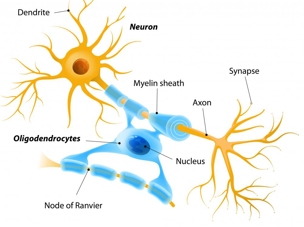 A neuron is shaped like a tree, with a cell body at the top and dendrites extending like branches.