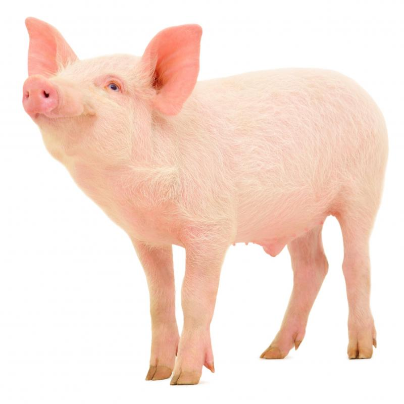 A pig with thin hair.