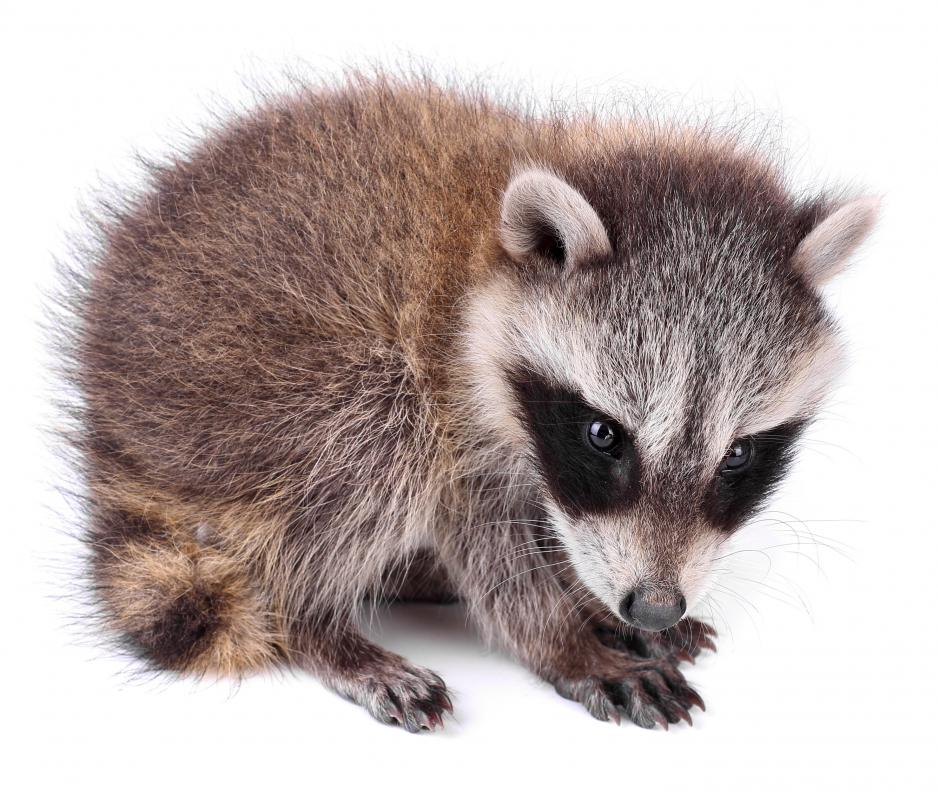 Raccoons are among the painted turtle's natural enemies.