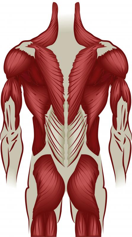 The triceps brachii is in the upper arm, below the shoulder muscle.