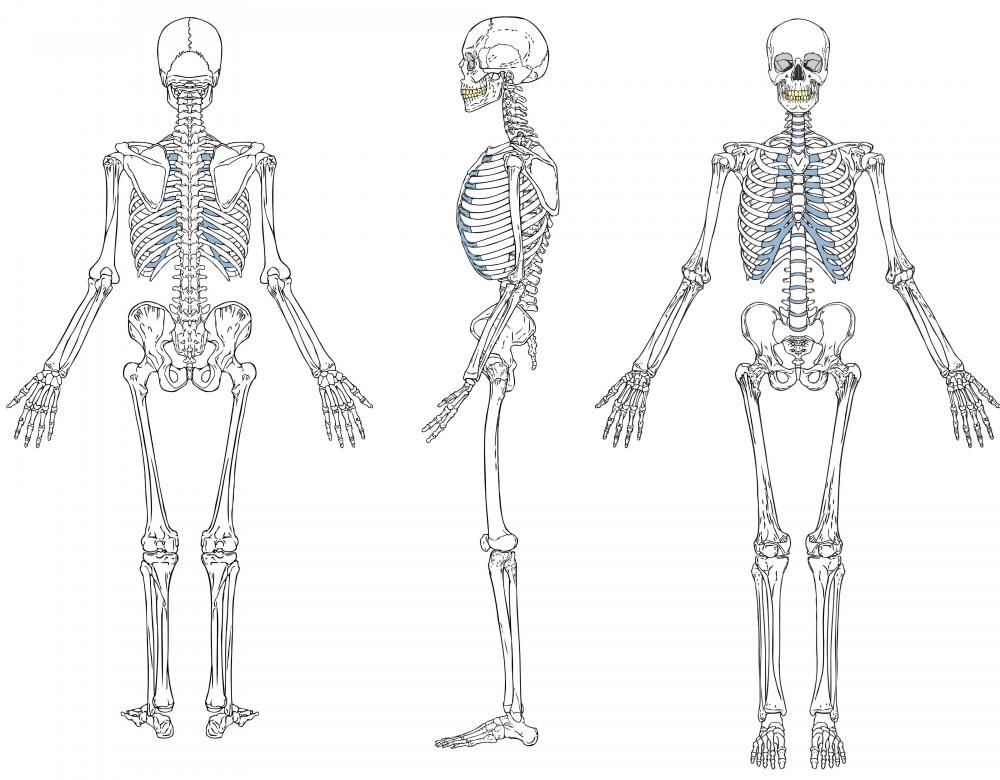 Adult human bodies are comprised of a total of 206 bones.
