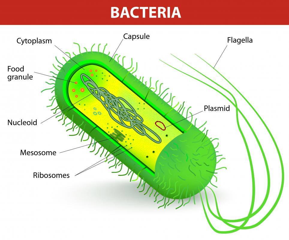 Several copies of plasmids are often present at any one time in the bacterial cell.