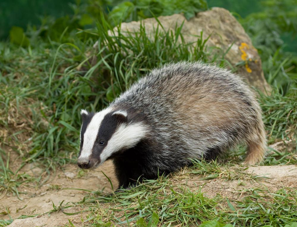 European badger cub.