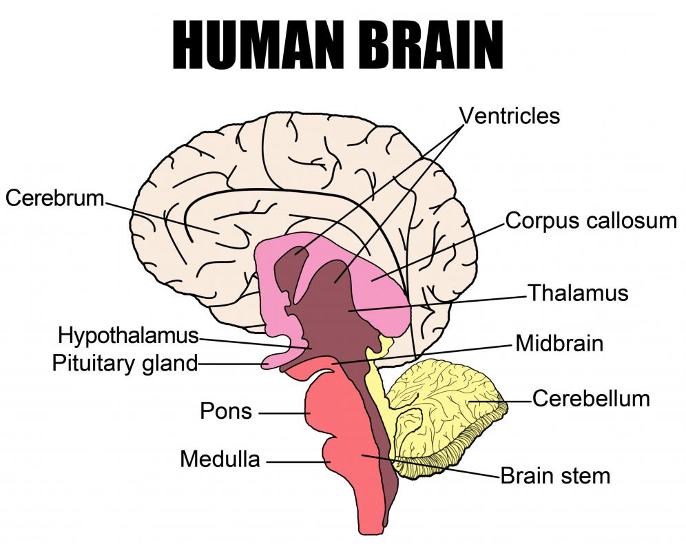 Neurology is a medical specialty that focuses on conditions of the brain and other parts of the human nervous system.