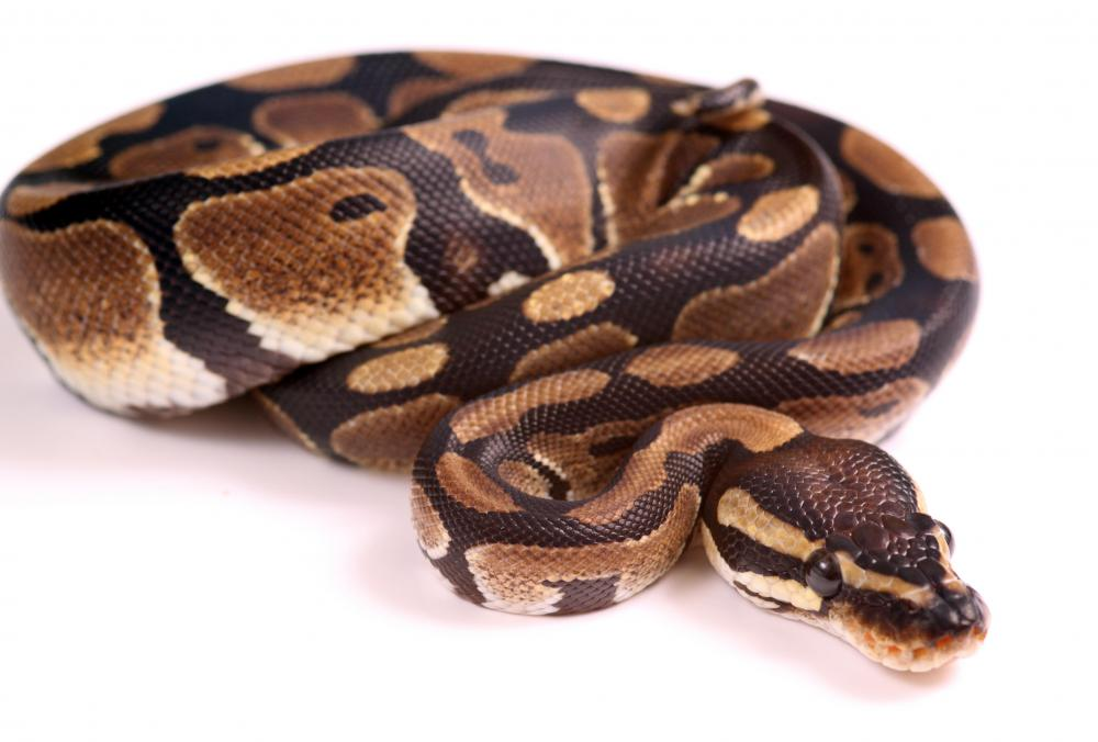 Ball pythons are popular pets for snake and reptile lovers.