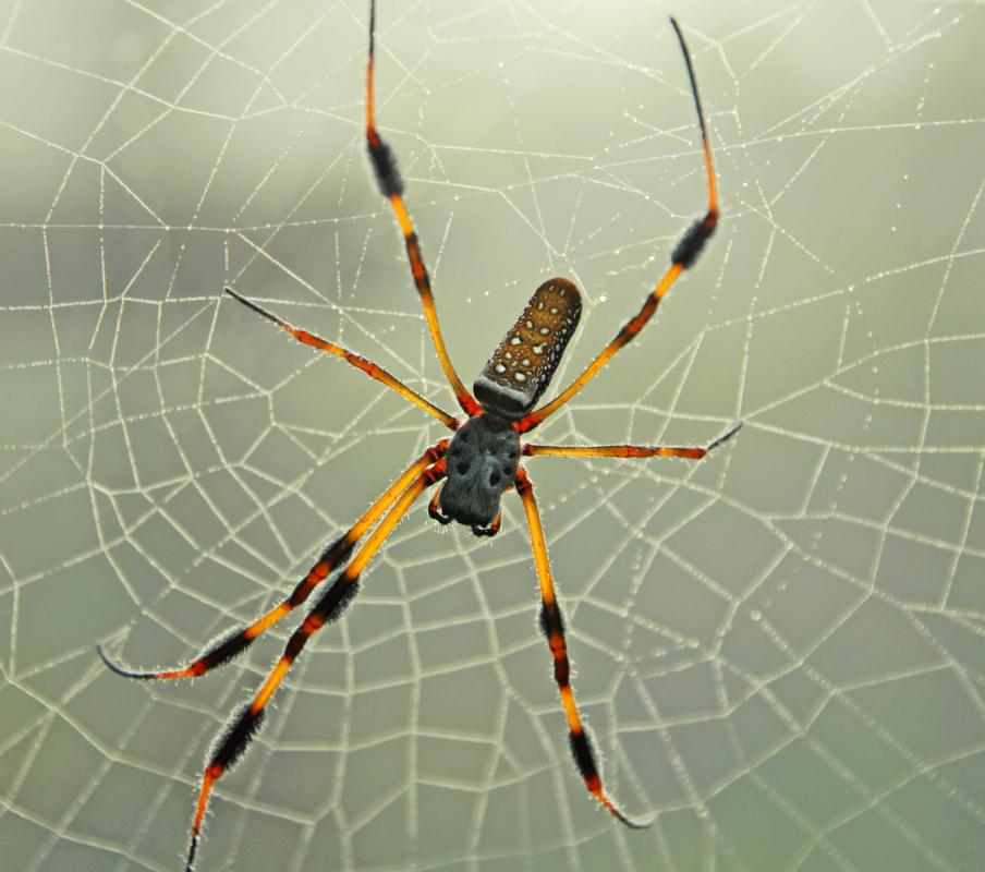 Pictures Of Banana Spiders In Florida
