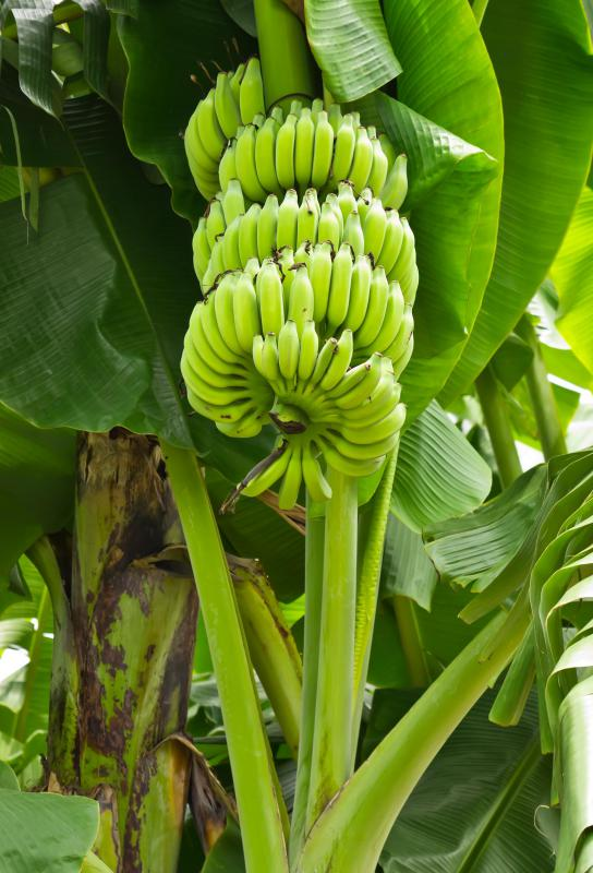 Chifle can be made with green bananas or ripened plantains.