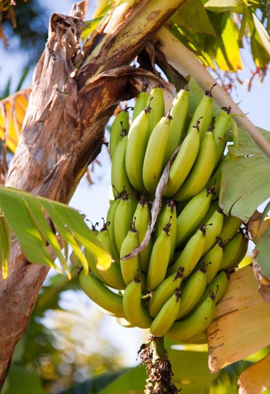 Bananas are an excellent source of fiber, and are high in antioxidants.