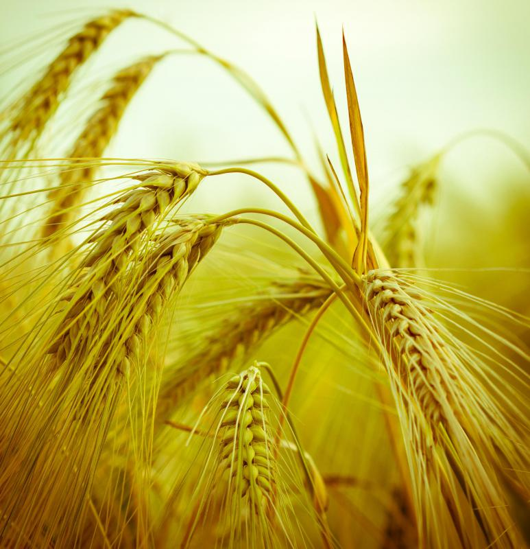 Barley is a common grain.
