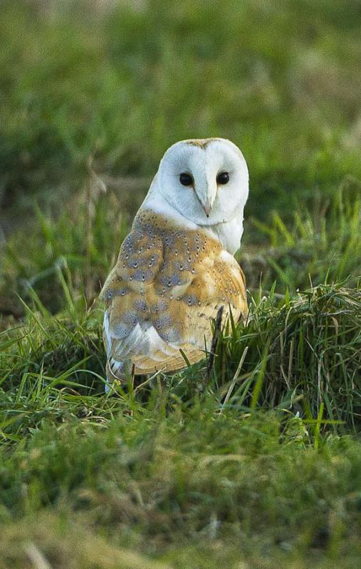 Though historically subjects of superstition, owls in general tend to hunt rodents and insects that often harm crops.