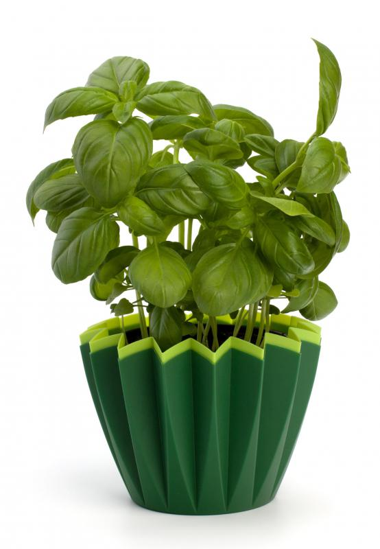Fresh basil leaves are often used to season stuffed calamari.