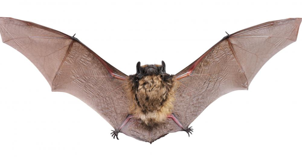Bats often feed on cockroaches.