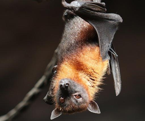 Structurally, a bat's wing is similar to a human's arm and hand, but with very long finger bones.