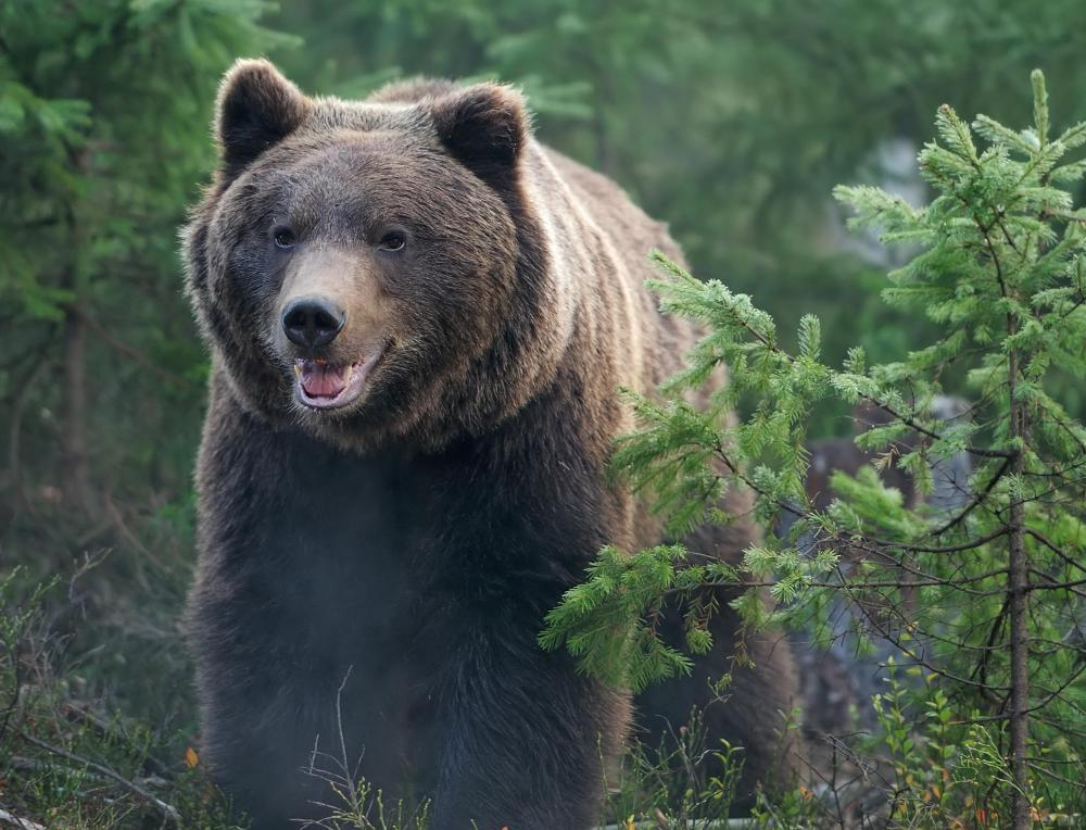 Camera traps are used by state parks in the United States to keep track of the bear population.