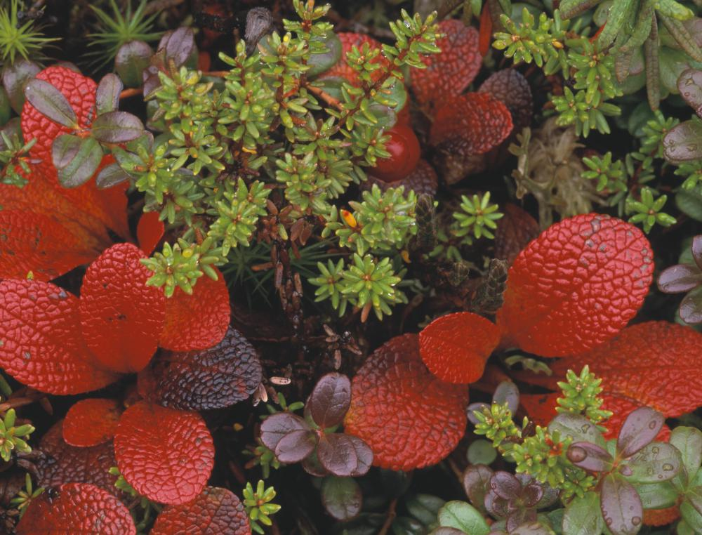 The bearberry shrub is classified in the genus Arctostaphylos.