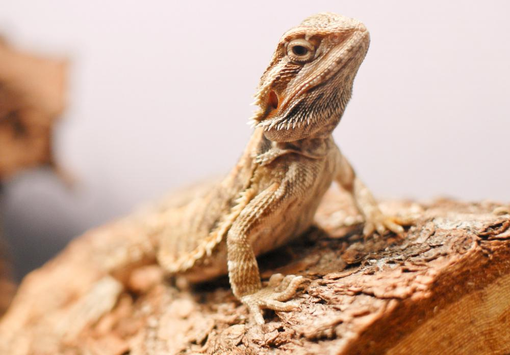 Habitat is an important factor in the life span of the bearded dragon.