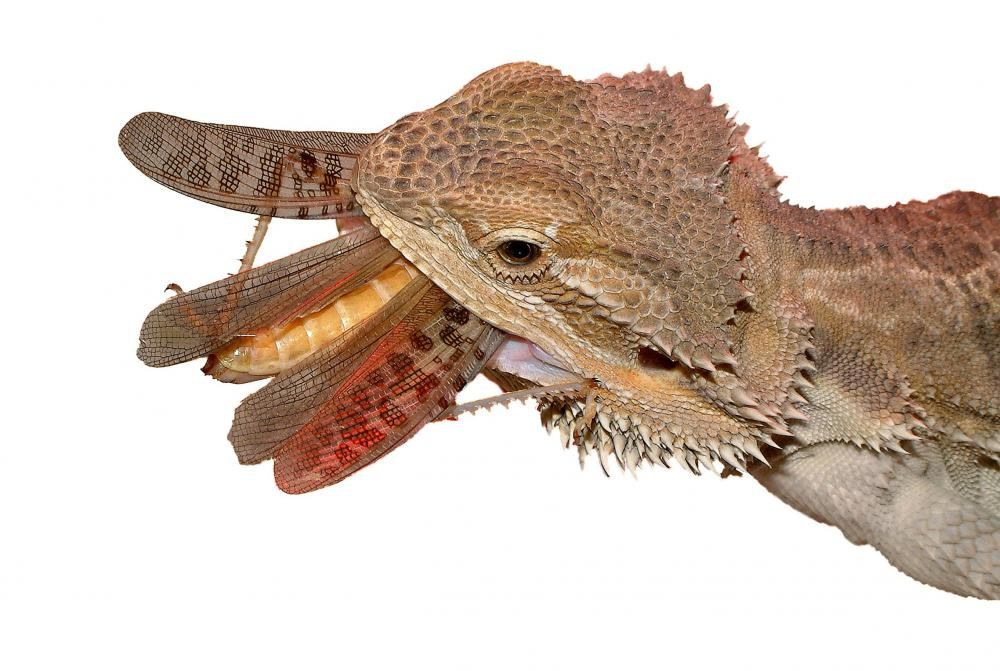 Bearded dragons consume small insects as well as vegetables.