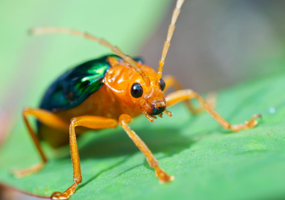 Some species of beetle devour the leaves and roots of garden plants.