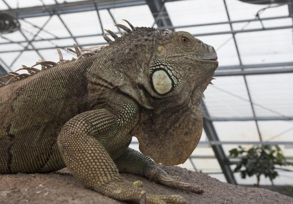 Veterinarians may choose to work with exotic pets, such as iguanas.