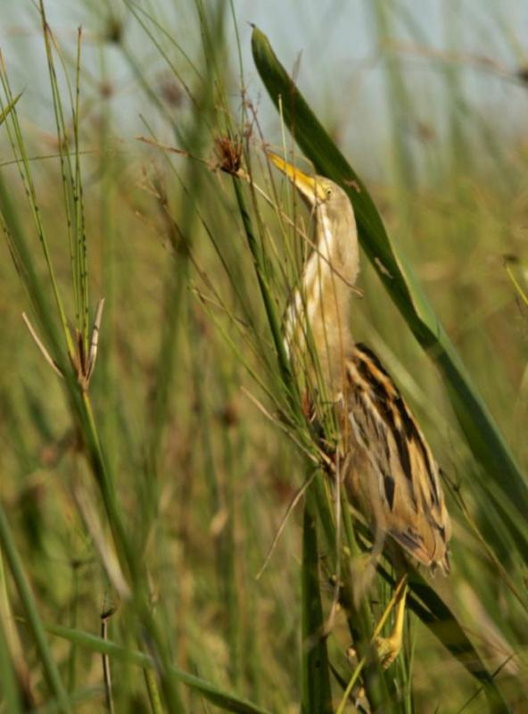 The bittern, a type of bird in the heron family, is often found in marshland and other water areas.