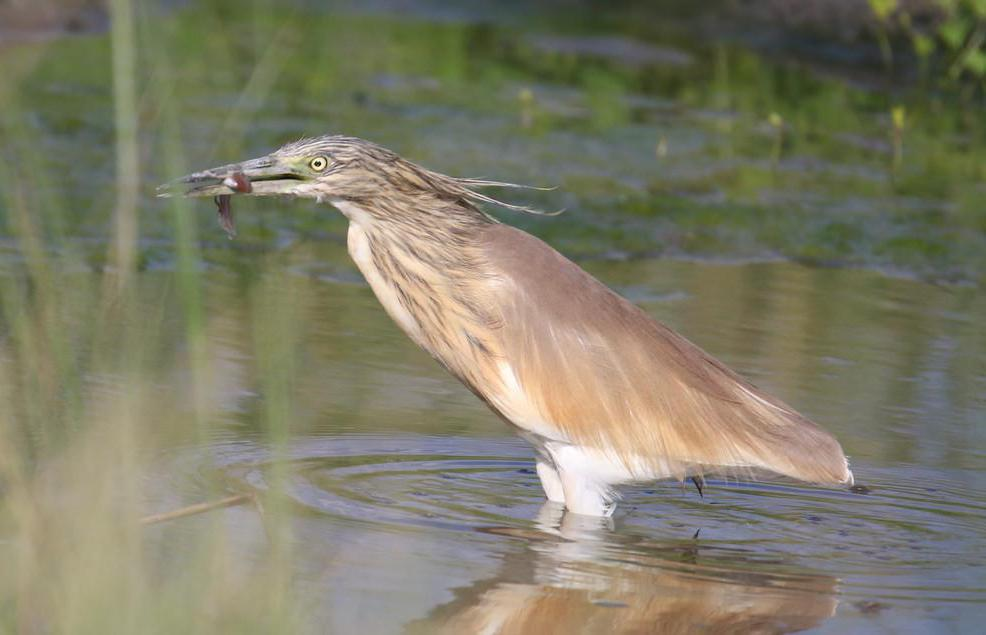 The American bittern will eat any kind of fish or amphibian they can find in the marshy areas where they live.
