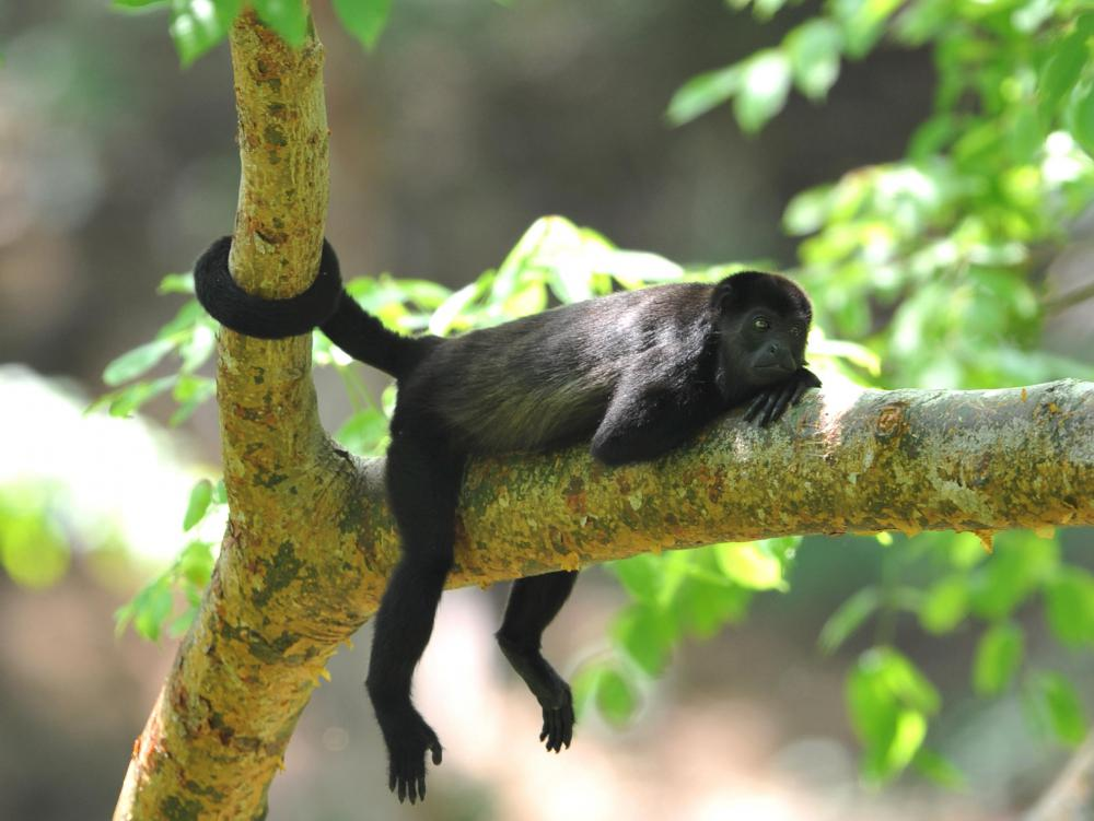 Monkeys can use their tails like an extra limb.